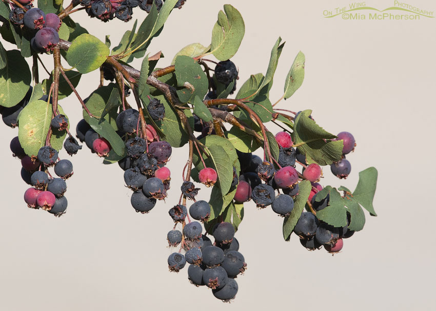 Ripe Utah Serviceberry berries, Little Emigration Canyon, Morgan County, Utah