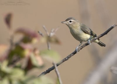 Warbling Vireo in a mountain canyon, Little Emigration Canyon, Morgan County, Utah