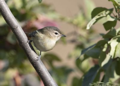 Warbling Vireo about to lift off, Little Emigration Canyon, Morgan County, Utah