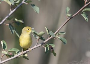 Yellow Warbler on a branch, Wasatch Mountains, Morgan County, Utah
