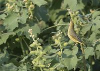 Immature Yellow Warbler foraging in a Cocklebur, Bear River Migratory Bird Refuge, Box Elder County, Utah