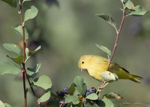 Yellow Warbler with a curious look, Wasatch Mountains, Morgan County, Utah