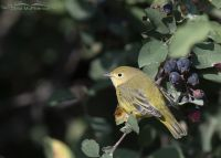 Yellow Warbler with a dark background, Wasatch Mountains, Morgan County, Utah