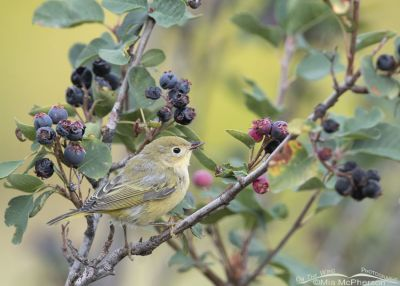 Immature Yellow Warbler and Serviceberry berries, Little Emigration Canyon, Morgan County, Utah