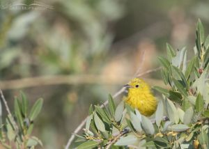 Messy male Yellow Warbler, Wasatch Mountains, Morgan County, Utah