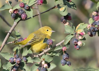 Yellow Warbler framed by Serviceberry berries, Wasatch Mountains, Morgan County, Utah