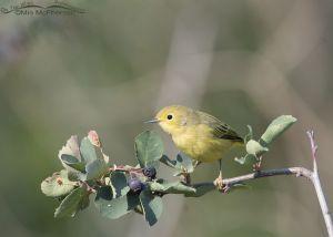 August Yellow Warbler, Wasatch Mountains, Morgan County, Utah