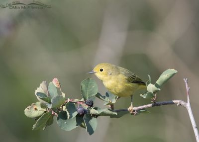 August Yellow Warbler, Wasatch Mountains, Morgan County, Utah