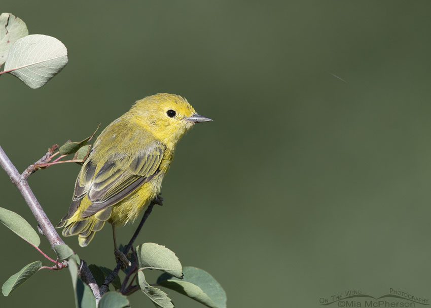 Perched Yellow Warbler and Serviceberry bush up close, Little Emigration Canyon, Morgan County, Utah