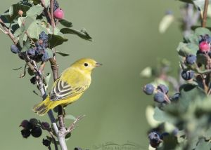 Adult Yellow Warbler on a Serviceberry bush, Little Emigration Canyon, Morgan County, Utah