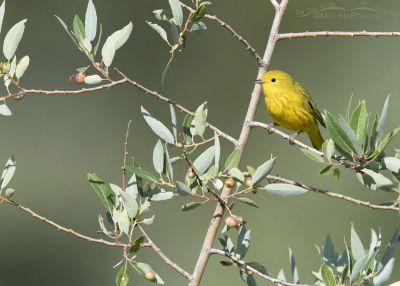 Tiny Yellow Warbler in a big world, Wasatch Mountains, Morgan County, Utah