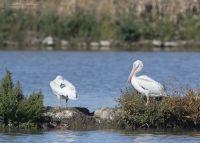 American White Pelican Wing Tag 90K - Glover Pond, Farmington Bay WMA, Davis County, Utah