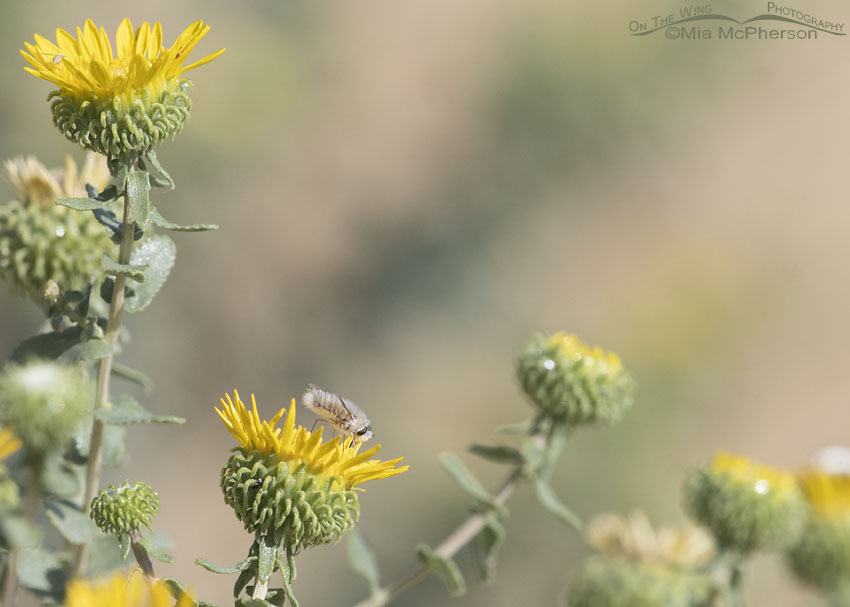Curlycup Gumweed with a Bee Fly, Stansbury Mountains, West Desert, Tooele County, Utah