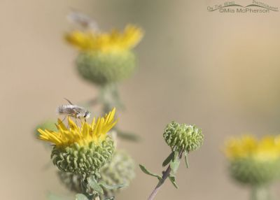 Bee Fly nectaring on Curlycup Gumweed, Stansbury Mountains, West Desert, Tooele County, Utah