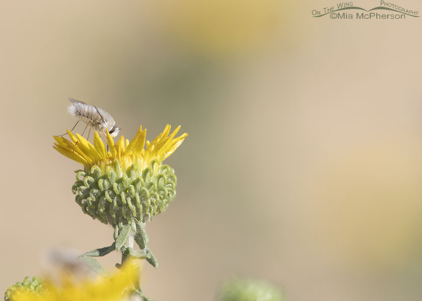 Bee Fly on Curlycup Gumweed, Stansbury Mountains, West Desert, Tooele County, Utah