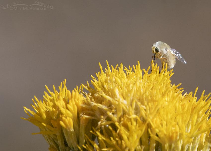 Bee Fly nectaring on rabbitbrush - Possibly Bombyliinae - Anastoechus? Stansbury Mountains, West Desert, Tooele County, Utah