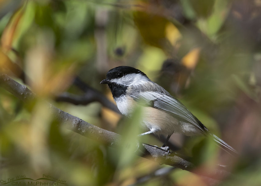 Black-capped Chickadee and Autumn leaves, Wasatch Mountains, Morgan County, Utah