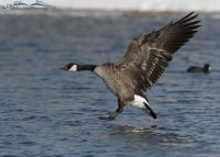 Winter Canada Goose in landing mode, Salt Lake County, Utah