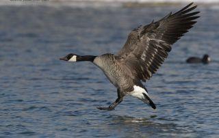 Winter Canada Goose in landing mode, Salt Lake County, Utah