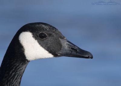 Winter Canada Goose portrait, Salt Lake County, Utah