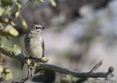 Immature Cedar Waxwing, Little Emigration Canyon, Summit County, Utah