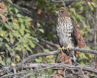Juvenile Cooper's Hawk with fall colors, Morgan County, Utah
