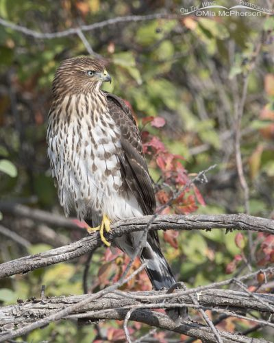 Juvenile Cooper's Hawk in the Wasatch Mountains, Morgan County, Utah