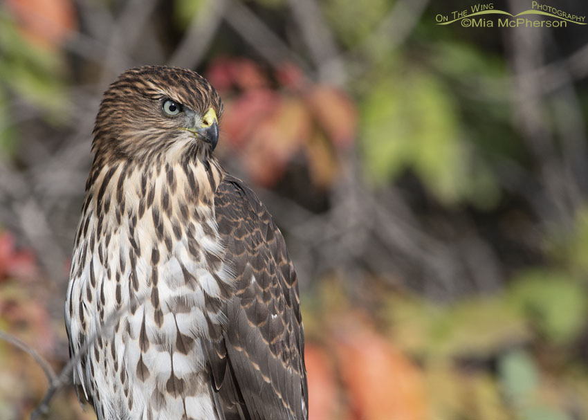 Cooper's Hawk juvenile portrait, Morgan County, Utah