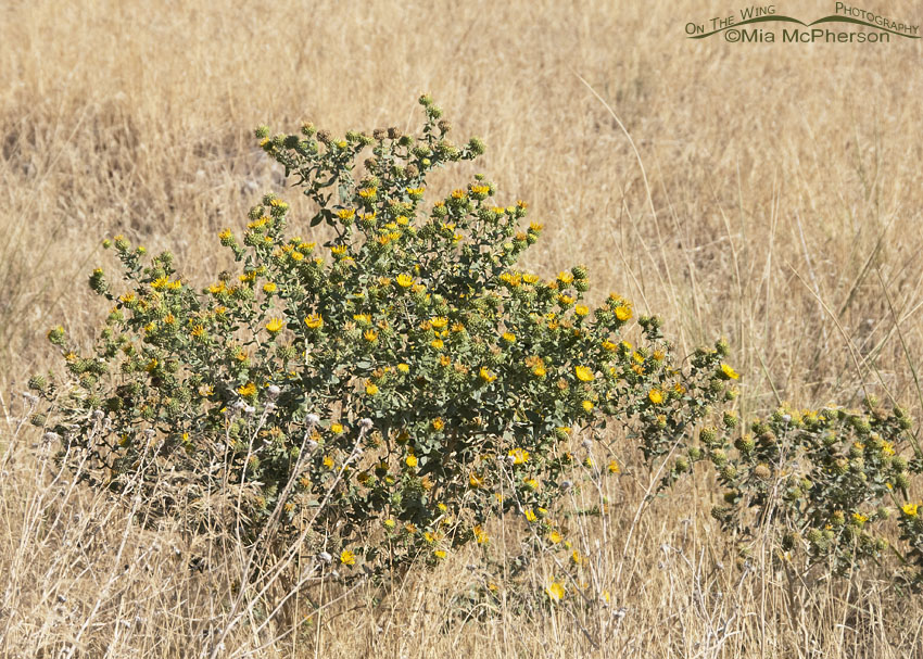 Curlycup Gumweed next to a road, Stansbury Mountains, West Desert, Tooele County, Utah