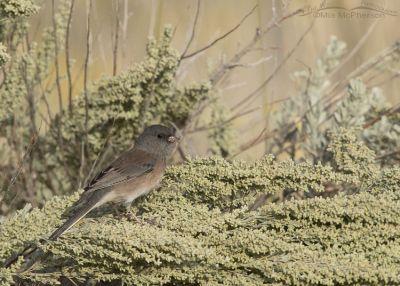 Female/Immature Dark-eyed Junco - Oreganus Group, Box Elder County, Utah