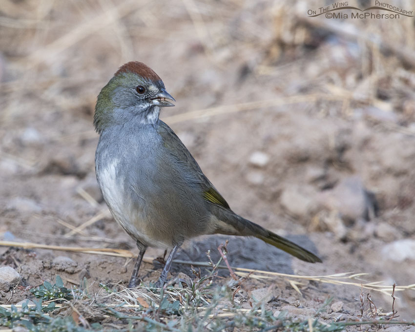 Green-tailed Towhee next to a gravel road, Little Emigration Canyon, Morgan County, Utah