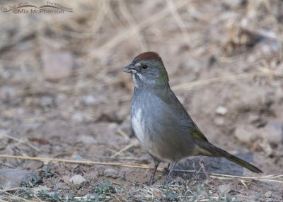 Green-tailed Towhee foraging near a road, Little Emigration Canyon, Morgan County, Utah