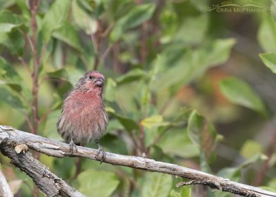 Male House Finch in a Wasatch Mountain canyon, Wasatch Mountains, Morgan County, Utah