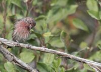 Male House Finch looking down at the ground, Wasatch Mountains, Morgan County, Utah