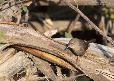 Inquisitive House Wren on a brush pile, Wasatch Mountains, Morgan County, Utah