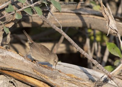 House Wren foraging in a brush pile, Wasatch Mountains, Morgan County, Utah