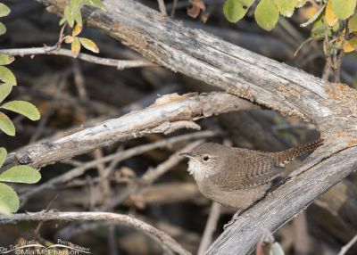 House Wren in the Wasatch Mountains, Wasatch Mountains, Morgan County, Utah