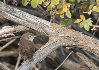 Back view of a House Wren on a brush pile, Wasatch Mountains, Morgan County, Utah