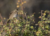Lincoln's Sparrow perched on Fragrant Sumac, Box Elder County, Utah
