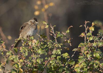Lincoln's Sparrow perched on Fragrant Sumac, Box Elder County, Utah
