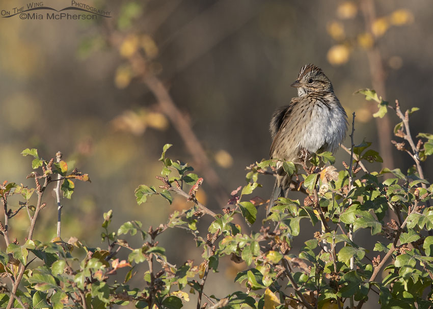 Preening Lincoln's Sparrow on Fragrant Sumac, Box Elder County, Utah