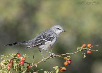 Northern Mockingbird perched on a wild rose, Box Elder County, Utah