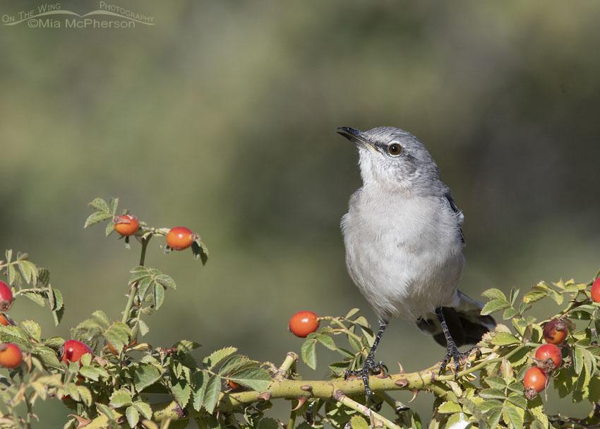 Rose hips and a Northern Mockingbird, Box Elder County, Utah