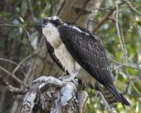 Juvenile Osprey with a Tiger Trout, Wasatch Mountains, Morgan County, Utah