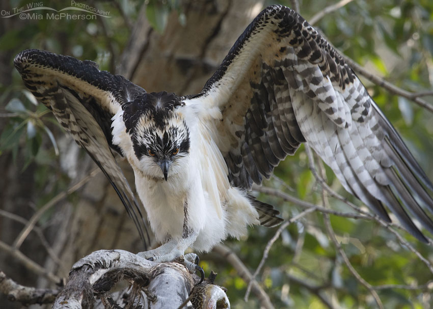 Juvenile Osprey flapping its wings, Wasatch Mountains, Morgan County, Utah
