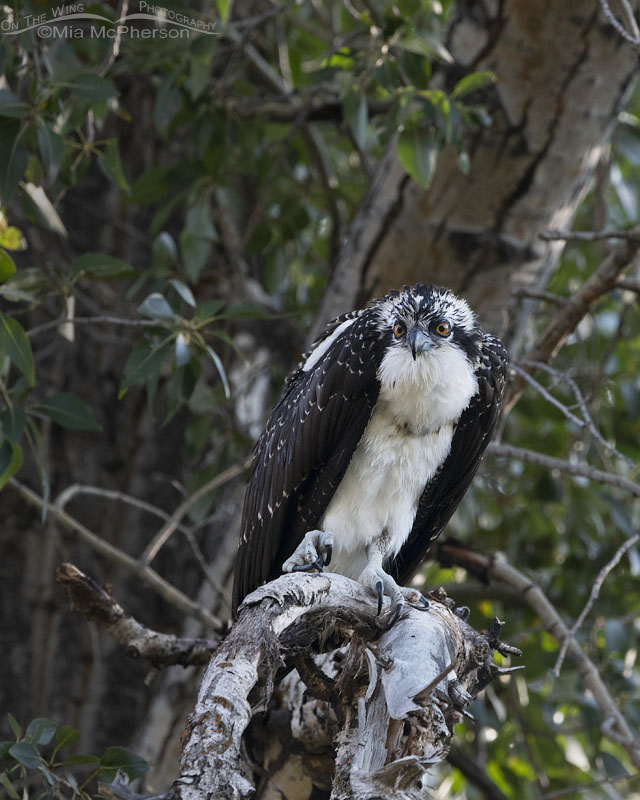 Juvenile Osprey with a full crop, Wasatch Mountains, Morgan County, Utah