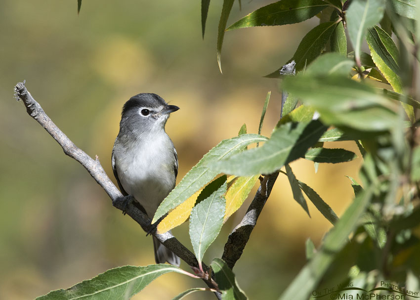 Plumbeous Vireo Images