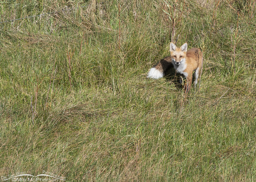 Red Fox in a mountain canyon, Wasatch Mountains, Morgan County, Utah