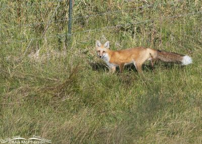 Red Fox walking through tall grasses, Wasatch Mountains, Morgan County, Utah
