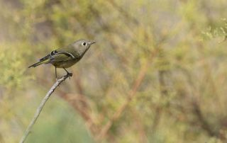 Tiny Ruby-crowned Kinglet on a stick, Box Elder County, Utah